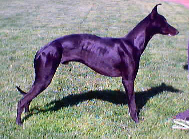 Whippet Dog Double Muscle